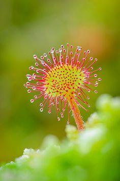 Drosera: Sundew -- Planta del amazonas