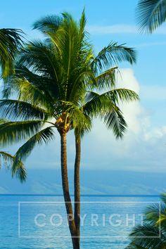Palm Tree, Maui
