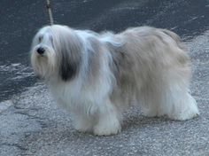 Polish Lowland Sheepdog reliable information about the breed from very reliable breeders as well as pet owners. Synopsis plus liinks to more information. Polish Lowland Sheepdog, Unusual Dog Breeds, Wolves, Best Dogs, Pets, American, Amazing, Sweet, Animals