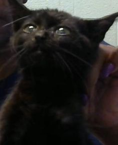 Petango.com – Meet Louisa, a 1 month 2 days Domestic Shorthair available for adoption in DECATUR, GA