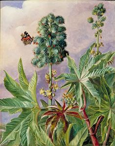Palma christi or castor oil, 1873 posters, canvas prints, framed pictures, postcards & more by Marianne North. Botanical Drawings, Botanical Prints, Canvas 5, Canvas Prints, Marianne North, Castor Oil Packs, Edgar Cayce, Pintura Country, Beautiful Paintings