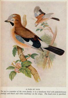 birds,trees &flowers j 50 ill jays | Flickr - Photo Sharing!
