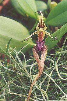 Bulbophyllum putidum ( Detalle de la flor )- Wikipedia, la enciclopedia libre