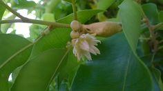 พิกุล (Mimusops elengi  L.)