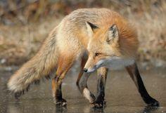 https://flic.kr/p/kgnAen | Red Fox