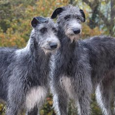 Scottish Deerhounds Cute Baby Puppies, Cute Dogs, Scottish Deerhound, Irish Wolfhounds, Outlander, Lurcher, Dog Runs, Pet Rabbit, Dog Paintings