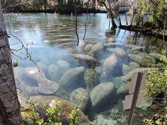 Three Sister Springs in FL. Manatee Sanctuary   Flickr
