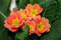 coral primrose