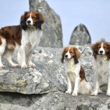 kooikerhondje_ Némo, Koeurly et Lenny à Carnac