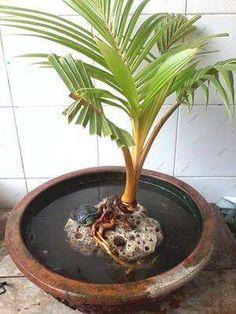 20 Coconut Bonsai Ideas Bonsai Bonsai Art Coconut