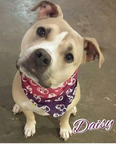 Meet Daisy, a Petfinder adoptable Pit Bull Terrier Dog | Cedar Rapids, IA | DAISY is a very pretty and friendly girl, likely a pit bull terrier mix. She has the typical love...