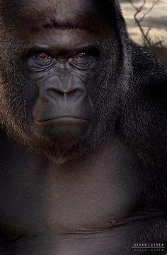 Lowland Silverback Gorilla by Ozkan Ozmen Primates, Mammals, Silverback Gorilla, Chimpanzee, Orangutans, Cane Corso, Beautiful Creatures, Animals Beautiful, Wild Life
