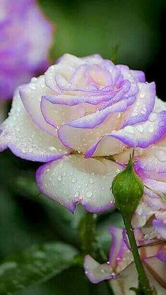 ♡ƸӜƷ •✿ Rose ✿• ƸӜƷ♡