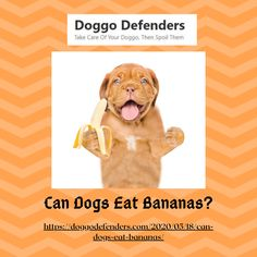 Can Dogs Eat Bananas? Bananas are a safe and healthy treat for your dog. You'll find vitamins such as vitamin B6, which is used by the body to make red blood cells and help promote brain health. Bananas have a lot of fiber. Fiber is essential to keep your pet's bowel movements regular and help regulate the motility of your dog's gut. Can Dogs Eat Bananas, Kong Treats, Banana Treats, Musculoskeletal System, Sources Of Fiber, Red Blood Cells, Dog Eating, Brain Health, Healthy Treats