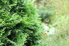 die besten 25 lebensbaum smaragd ideen auf pinterest thuja occidentalis smaragd lebensbaum. Black Bedroom Furniture Sets. Home Design Ideas