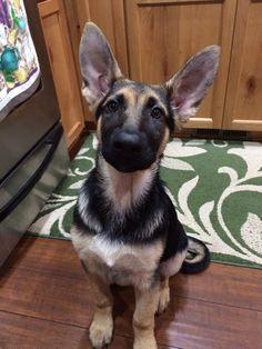 My GSD 3.5 months old. #gsd #puppy #germanshepherd