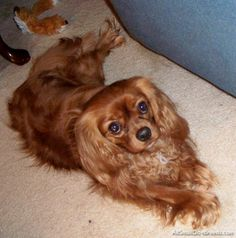Brown Cavalier King Charles Spaniel.  Looks like Pound Cake.