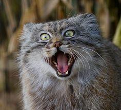 Koty Manul, zwane również jako Koty Pallas to gatunek małego drapieżnego ssaka z rodziny kotowatych. Rozprzestrzenione są na obszarach Azji Środkowej, na południe ich zasięg obejmuje Iran,Afganistan i Pakistan. Tym, co je wyróżnia jest niezwykłe futro, najdłuższe i najbardziej puszyste wśród wszystkich dzikich kotów. Zwierzęta są nieco dłuższe niż koty