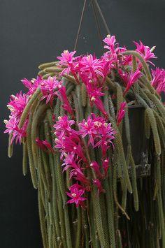 Aporocactus Flagelliformis – Flor de Látigo | Cactus