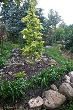 2014... Metasequoia glyptostroboides 'Ogon' ('Gold Rush')