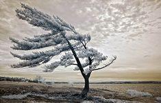 Killbear Pine