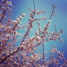 It's beginning. #spring #cherryblossoms #Easterwalk Interesting Blogs, Cherry Blossom, Mindfulness, Butterfly, Spring, Red, Bow Ties, Cherry Blossoms, Butterflies