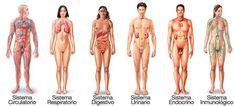 Hay 12 sistemas del cuerpo humano que trabajan tanto por separado como de manera conjunta para que el organismo funcione correctamente y mantenga la salud.