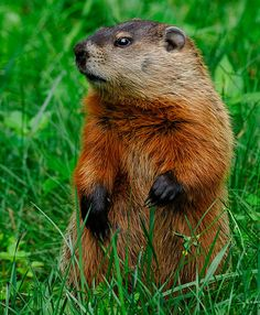 woodchuck ..........   Alas , I have chosen my trail name for the A.T.
