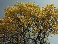 Ipê Amarelo - Brasil