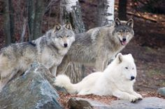 For those of you who would be interested in supporting the work of the International Wolf Center, please consider making a donation.   Donate online or send a check to the:    Wolf Care Fund,  International Wolf Center,  1396 Highway 169,  Ely, MN 55731    For larger donations, please email Mary Ortiz or call 763-560-7374 Ext. 222.    Thank you for your generosity and support for the care and well being of our ambassador wolves.