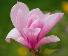 100PCS-Saucer-Magnolia-Magnolia-soulangiana-Fragrant-Flowers-Tree-Seeds-Garden