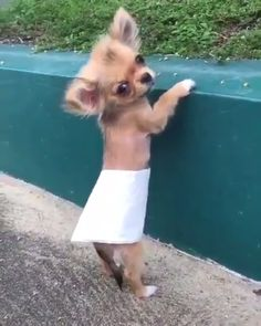 20 Tough Guys With Adorably Tiny Puppies - Chihuahua - Hunde Funny Animal Videos, Cute Funny Animals, Animal Memes, Cute Baby Animals, Funny Dogs, Animals And Pets, Baby Animal Videos, Cute Puppy Videos, Funny Memes