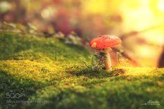 Mushroom by PhotoGlendor. @go4fotos