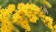 Wasp with Goldenrod Wildflowers / Intimate Flora & by PhotoClique