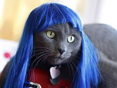 Cat with blue wig