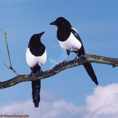 Birds ©: Eurasian Magpie Pair (pica pica) [{Habitats - Europe, Asia and Northern Africa}] [Rights managed image. Pretty Birds, Beautiful Birds, Animals Beautiful, Eurasian Magpie, Pie Bavarde, Magpie Tattoo, Animals And Pets, Cute Animals, Jackdaw
