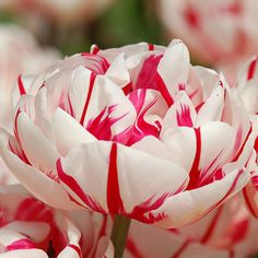 Buy double late tulip bulbs Tulipa Carnaval de Nice: Delivery by Crocus Tulips Garden, Tulips Flowers, Daffodils, Daffodil Bulbs, Tulip Bulbs, Planting Bulbs, Planting Flowers, Amazing Flowers, Beautiful Flowers