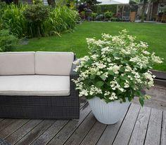 die besten 25 hortensien winterhart ideen auf pinterest. Black Bedroom Furniture Sets. Home Design Ideas