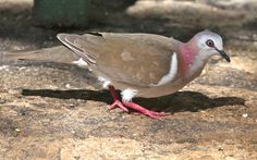 Caribbean Dove (Leptotila jamaicensis), Rockland's Bird Refuge, near Montego Bay, Jamaica 4/19/14 | by abcdefgewing