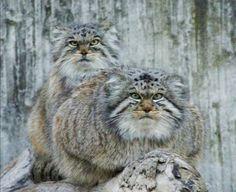 Pallas cats. J'adore leur tête de mauvaise humeur, de sale caractère :-)