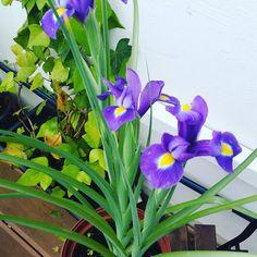 When I had lost all hope...  すべての希望を失ったとき... #bulbs #iris #instaplant #plantnerd #planthoarder #flowers #flowergram #ihavethisthingwithplants
