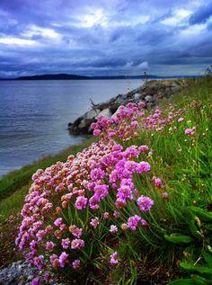 Wildflowers growing along the shoreline of Beach Drive in West Seattle