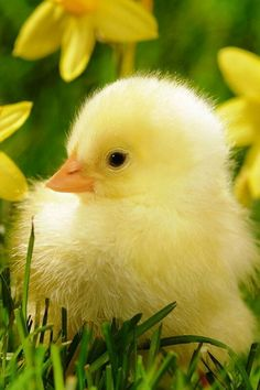 Cutie ~ Little yellow chick.