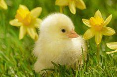WallsRoyal: Little chick yellow flowers desktop bakcgrounds