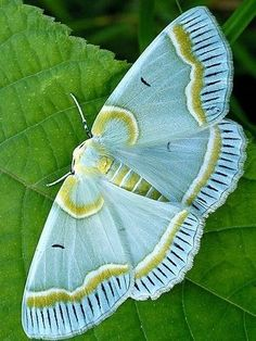 Beautiful aqua moth with gold and white markings ... would you believe that…  : More At FOSTERGINGER @ Pinterest