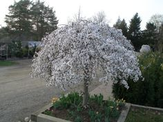 Graceful weeping, irregular form. Literally covered with snow-white blossoms in the spring. Dark green leaves turn a brilliant orange in fall. This small growing form of Weeping Cherry is perfect for your oriental and rock gardens or small yards. Very easy to maintain at a desired size. Bottom and top grafted.