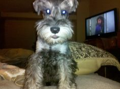 Little mini schnauzer puppy........ Can you tell me where my mommy is?? I can't find her anywhere