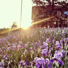 Irises near Stauffer-Flint Hall.