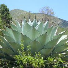 Century Plant for sale buy Agave 'Huasteca Giant' (ovatifolia x gentryi)