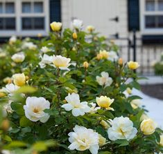 Sunny Knockout Rose | Yellow Knockout Roses | BLOOMS up to 9 MONTHS!!! Low maintenance. Drought tolerant. Sweet Fragrance Similar to Citrus The scent of your Sunny Knockout Rose will blow you away. It's a sweet aroma that fills the air... you can smell it up to 50 feet away. You'll want to plant these roses in high traffic areas- near the entrance of your home, around your patio, or even along your property line.